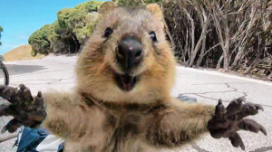 Quokka with a big smile and outstretched arms of welcome